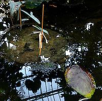 Tropical Rainforest Glasshouse (formerly Le Jardin d'Hiver or Winter Gardens), 1936, René Berger, Jardin des Plantes, Museum National d'Histoire Naturelle, Paris, France. Detail of a plantpot in a pool which reflects the glass and metal roof of  the Art Deco style building.