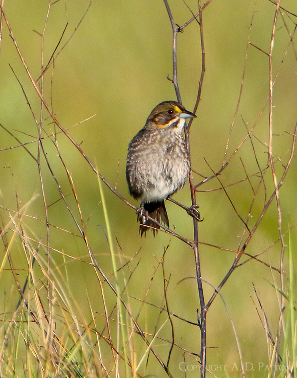 Adult seaside sparrow