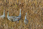 Sandhill crane bugling in a field at Crex Meadows Wildlife Area.