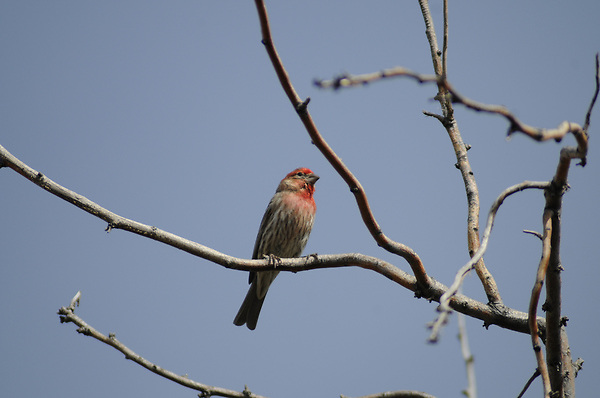 Red Breasted Finch
