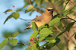 Cedar waxwing on a serviceberry bush