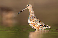 Long-billed Dowitcher - Limnodromus scolopaceus - Adult in transition to breeding