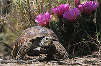 Texas Tortoise, Gopherus berlandieriadult, walking next to Strawberry Hedgehog , May 2002