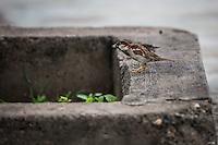 Gorrion Domestico o con su nombre cient&iacute;fico :Passer domesticus  , con distribuci&oacute;n en Canada, EU, Mex y centroAmerica..<br /> Reserva Monte Mojino (ReMM) de la Natural Culture International (NCI)<br /> <br /> Credito:LuisGutierrez