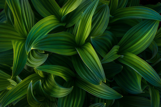 A False Hellebore catches reflected light from the late afternoon sun in Mt. Rainer area. I've always been fascinated by these plants, with each unique pattern of curves and lines, and how each catches the soft, reflected light.
