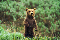 Grizzly bear spring cub stands up in the tundra, Denali National Park, Alaska.