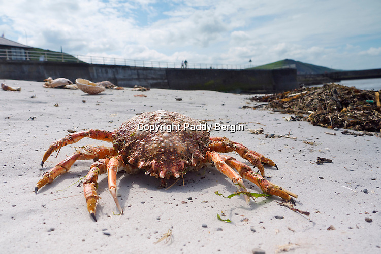 Crab stranded after a storm at Aberystwyth, Ceredigion, West Wales. The Brown Crab is one of the most common crab species found on the West Coast of Wales.<br />