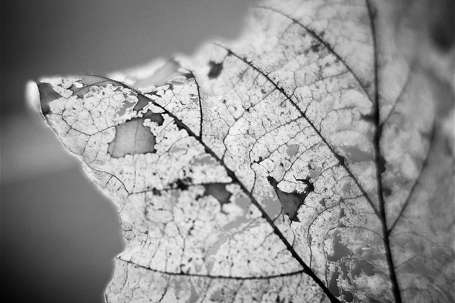 Macro detail of a decaying sycamore leaf.