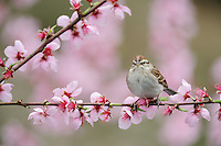 Chipping Sparrow (Spizella passerina), adult on blooming peach tree (Prunus persica), New Braunfels, San Antonio, Hill Country, Central Texas, USA