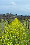 Spring mustard blooms in St. Helena vineyard