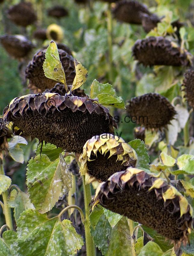 Italien, Latium, Sonnenblumen (verblüht) kurz vor der Ernte der Sonnenblumenkerne | Italy, Lazio, withered sunflowers before harvesting the sunflower seeds
