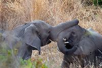 Kruger National Park, Mpumalanga, South Africa, september 2011. Young elephant bulls fight for dominance of the herd. Bordered by Mozambique and Zimbabwe, Krugerpark is about 65km wide and 350km long. It is south Africa's largest National Park and one of the world's best known nature conservation areas. From your own vehicle, on tarmac and dirt roads, you can get up close and personal experiences with the enormous wildlife diversity. Photo By Frits Meyst/Adventure4ever.com.