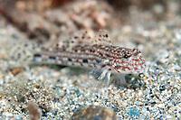 Decorated Goby, Istigobius decoratus, on sand, Blue Water Muck dive site, Uhak River, Wetar Island, near Alor, Indonesia, Banda Sea, Pacific Ocean