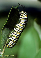 MO02-008a  Monarch Butterfly - caterpillar on milkweed - Danaus plexippus