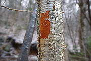 March 2012 - A fresh tree wound on a yellow birch tree along the Mt Tecumseh Trail in New Hampshire. This wound is the result of man not properly removing a painted trail marker (blaze) from the tree. The blaze was painted on the tree in 2011, and then improperly removed from the tree in the spring of 2012. The bark, where the blaze was, was cut and peeled away creating a tree wound.<br />