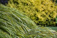 Hakonechloa macra 'Aureola' , Golden Japanese Forest Grass in Elisabeth Miller Botanical Garden