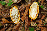 BELIZE, Punta Gorda, Village of San Pedro Colombia, a Cacao seed pod split open on the jungle floor, Agouti Cacao Farm