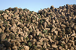 Pile of sugar beet, Beta vulgaris, after harvesting, Suffolk, England