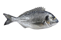 Gilthead Sparus aurata Length to 70cm<br /> Thick-bodied, fast-swimming fish. Similar to Black Sea-bream but with diagnostic yellow band across streep forehead and dark patch at anterior end of lateral line. Small numbers of this warm water species move into shallow British waters and estuary mouths on S coast in summer.