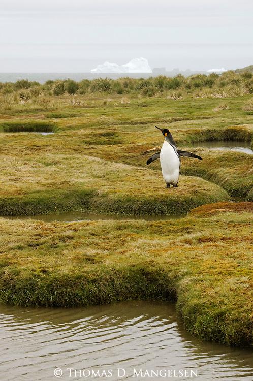 A king penguin walks along Peggotty Bluff, King Haakon Bay on South Georgia.