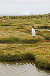 A king penguin walks along Peggotty Bluff, King Haakon Bay on South Georgia.