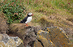 July 2016 - Puffins near Vik.  Southeast Iceland.  Iceland.
