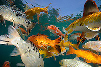 Koi are freshwater carp raised in ponds
