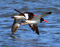 Pair of American oystercatchers in nuptial flight