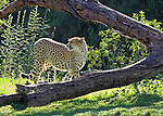 CHEETAH (Acinonyx jubatus; IMAGES OF SAN DIEGO, CALIFORNIA, USA, WILD ANIMAL PARK