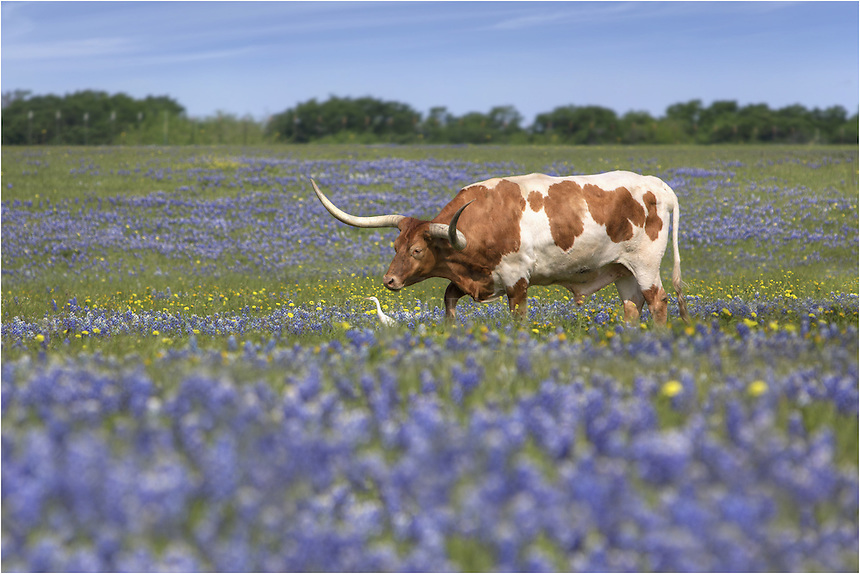 The cowbird seemed to lead the Longhorn around in this field of bluebonnets. ..I had driving to Ennis, Texas, in search of places to capture bluebonnet pictures, and I found a field of longhorns playing in the Texas Wildflowers. It was a great scene where I spent some amount of time just watching.