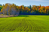 A field of winter wheat is sprouting on a farm field rimmed with autumn forest, Door County, Wisconsin