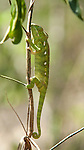 Panther Chameleon, Furcifer pardalis, Anja Park, Madagascar, Least Concern on the IUCN Red List and on Appendix II of CITES