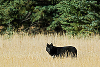 Wild Gray Wolf (Canis lupus) in meadow.   Jasper National Park.  Fall.