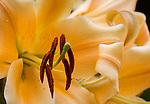 Orienpet Hybrid Lily 'Eudoxia'