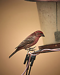 House Finch Image taken with a Nikon D5 camera and 600 mm f/4 VR lens (ISO 500, 600 mm, f/4, 1/1250 sec).