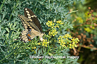 03017-008.06 Giant Swallowtail (Papilio cresphontes) female laying eggs on Common Rue (Ruta graveolens) Marion Co.  IL