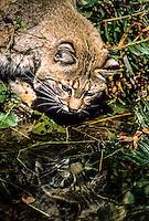 Bobcat, Washington