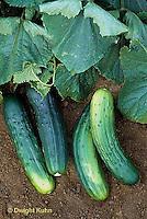 HS36-034x  Cucumber- Marketmore variety