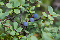 Rauschbeere, Rausch-Beere, Moorbeere, Trunkelbeere, Früchte, Vaccinium uliginosum, Bog Bilberry, Bog Wortleberry, bog blueberry, northern bilberry, western blueberry, La myrtille des marais