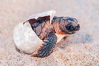 loggerhead sea turtle, Caretta caretta, hatchling, Juno Beach, Florida, USA, Atlantic Ocean