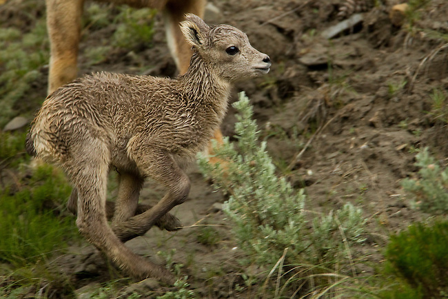 A newborn bighorn sheep lamb runs and plays on the hillside in Yellowstone National Park, May 30 2011. Photo by Gus Curtis.