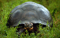 Giant tortoise, Galapagos Islands, Ecuador