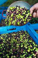 Europe/Provence-Alpes-Côte d'Azur/83/Var/Iles d'Hyères/Ile de Porquerolles: Le mari de Marie-Claude Cano  controle la récolte les olives des  vergers-conservatoires  du Conservatoire botanique national méditerranéen de Porquerolles, plus de 110 variétés d'oliviers, sur l'île de Porquerolles<br /> A la ferme de l'Oustaou Marie-Claude Cano  produit son huile d'olive réputée