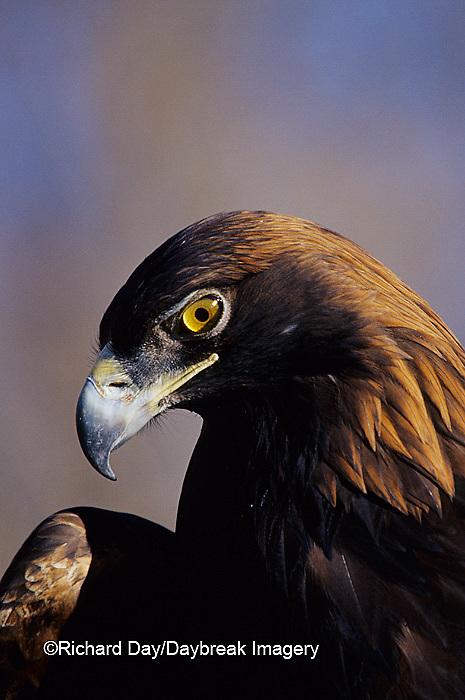 00788-00809 Golden Eagle (Aquila chrysaetos) captive bird,  CO