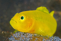 Yellow Goby, Lubricogobius exiguus, tending and guarding its eggs, Tulamben, Bali, Indonesia, Indo-Pacific Ocean