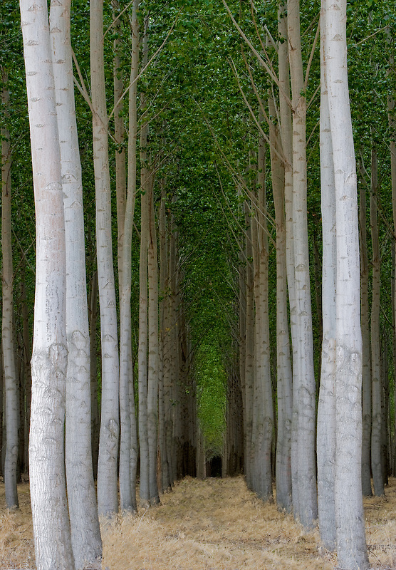 Pacific Albus trees. Morrow County, Oregon