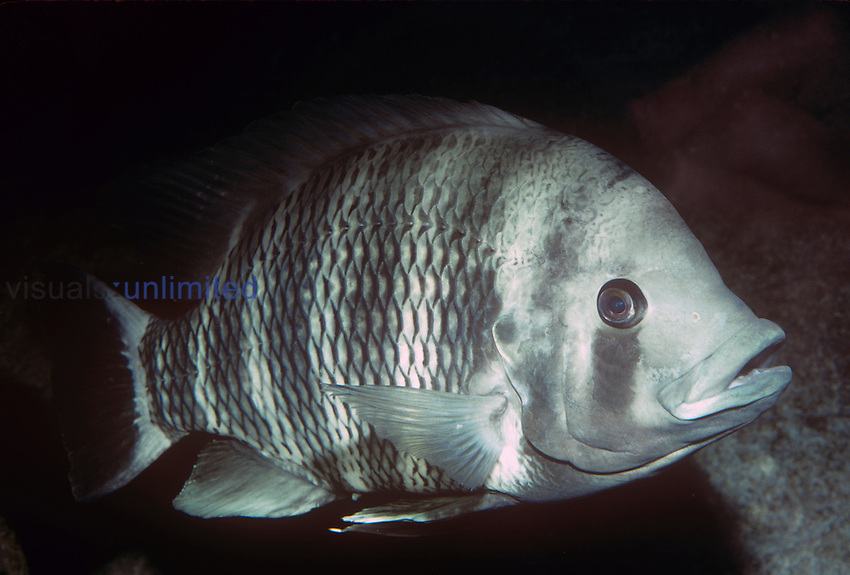 Hornet Tilapia (Tilapia buttikoferi), Central West Africa, an important species in the aquaculture industry.