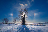 Sundogs and Plains cottonwood (Populus deltoides) in winter, , Manitoba, Canada