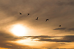 Gulls silhouetted in flight