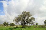 Israel, Western Samaria, Olive trees in Shoham forest park
